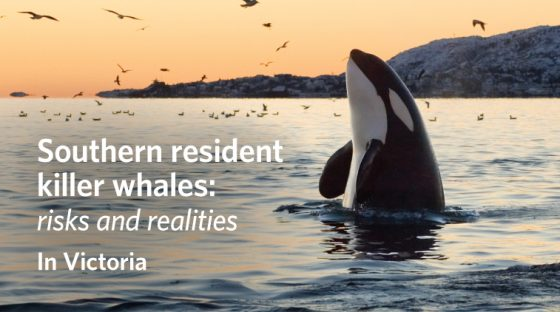 Southern resident killer whales: Risks and realities - In Victoria